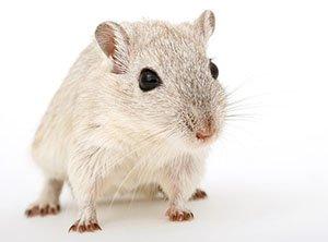Aktuelle Studie: Vardenafil schützt Mäuse vor Schwerhörigkeit durch Lärm